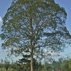 árvore de cumaru