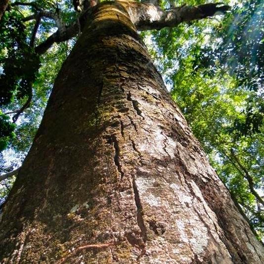 Árvore Jatobazeiro