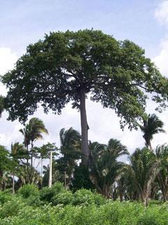 A madeira angelim-pedra vem da árvore de mesmo nome, que tem ocorrência em vários estados do Brasil, como na região Amazônica!