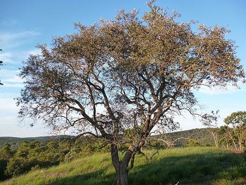 Árvore de Madeira Cambará