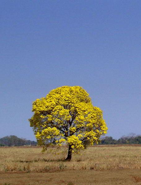 Bela Árvore de Ipê