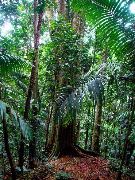 Árvore de madeira massaranduba.
