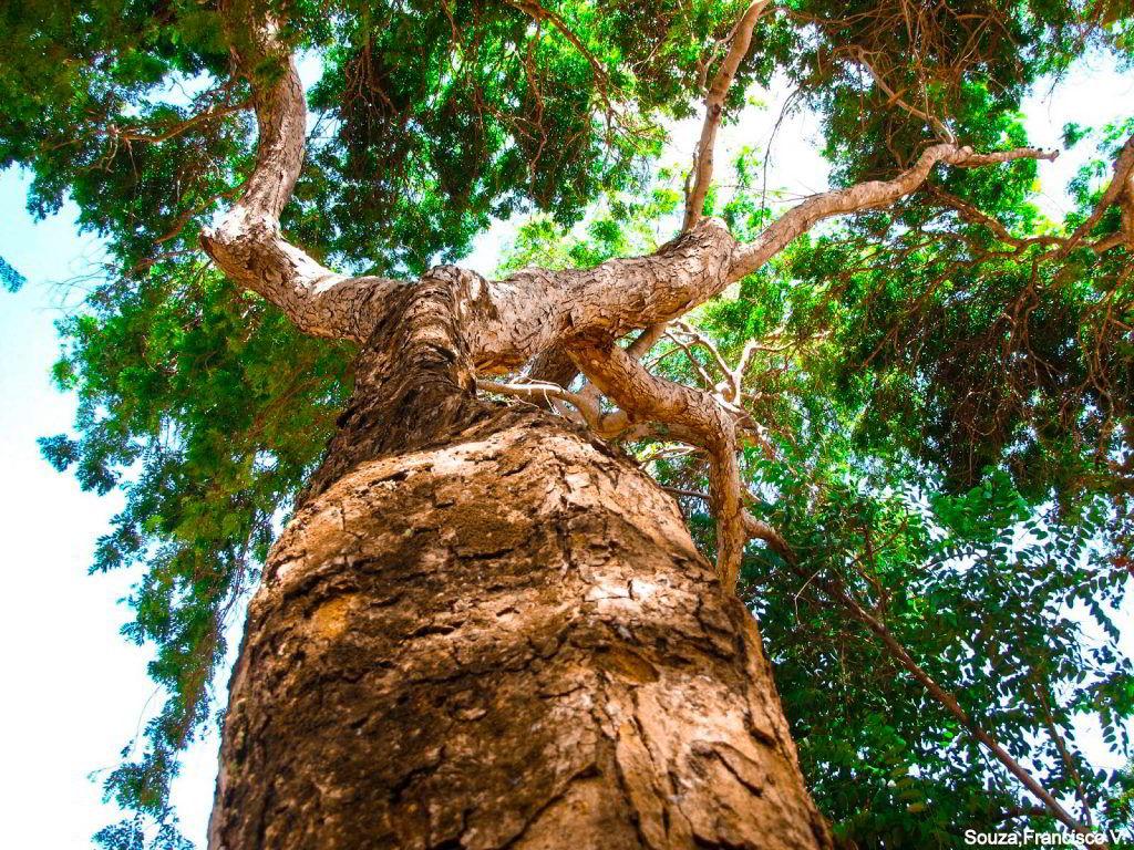 Árvore da Madeira Sucupira