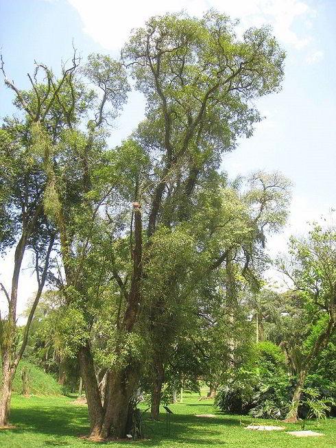 Árvore da madeira imbuia.