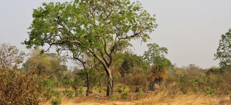 Árvore da madeira mogno.