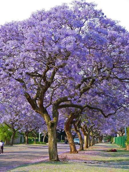Árvore que dá origem a madeira de jacarandá mimoso.