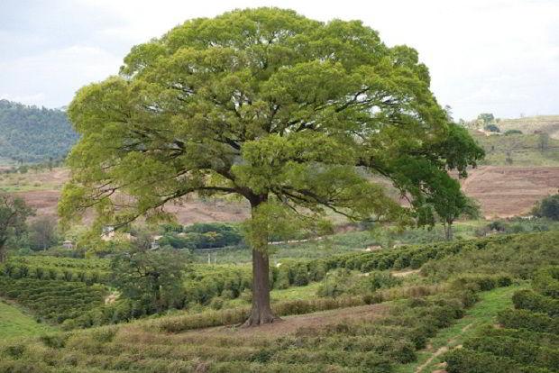 Veja árvore de jequitibá-branco.