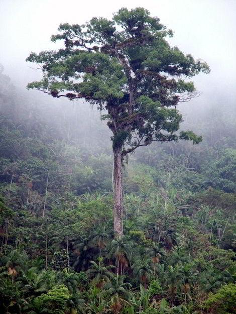 Árvore da madeira jequitibá-rosa, que pode viver milhares de anos!