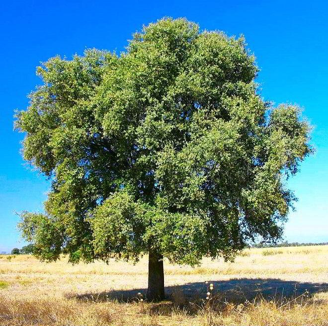 Azinheira, uma das espécies da madeira carvalho.