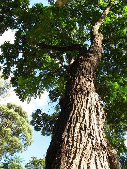 Uma das árvores de madeira cedro.
