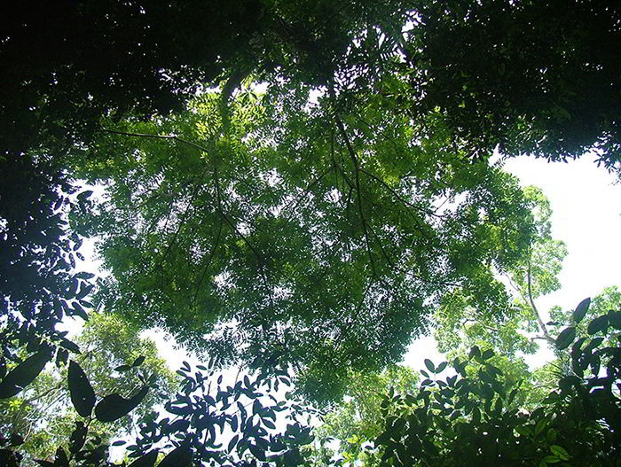 Copa da árvore de marupá.