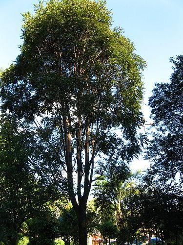 Árvore de cedro com tronco danificado pelo ataque de lagarta.