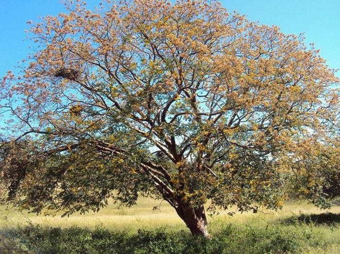 Árvore que produz madeira cerejeira, a amburana cearensis.