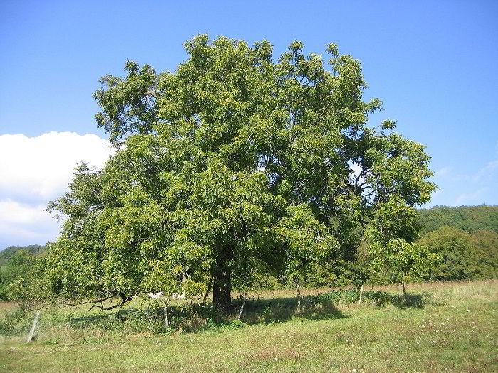 Árvore de madeira nogueira.