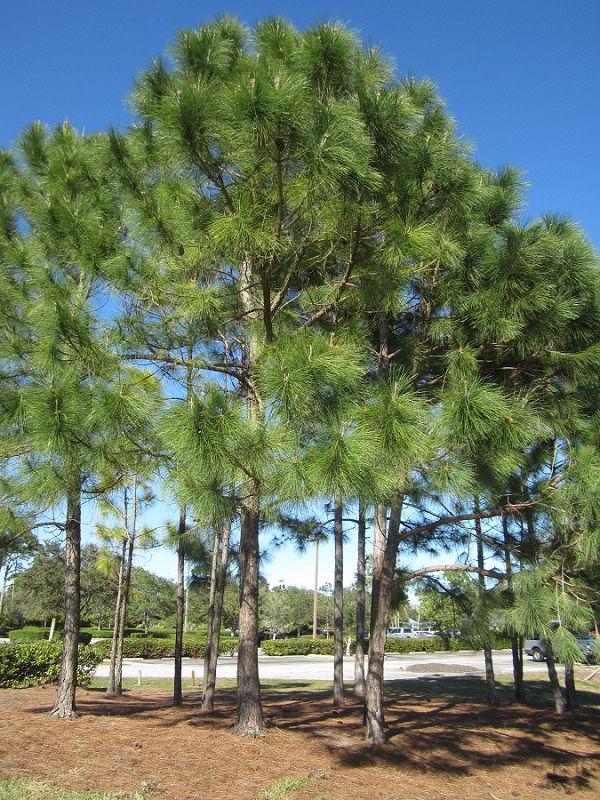 Árvores de pinus elliotti, que dá origem a madeira pinus.