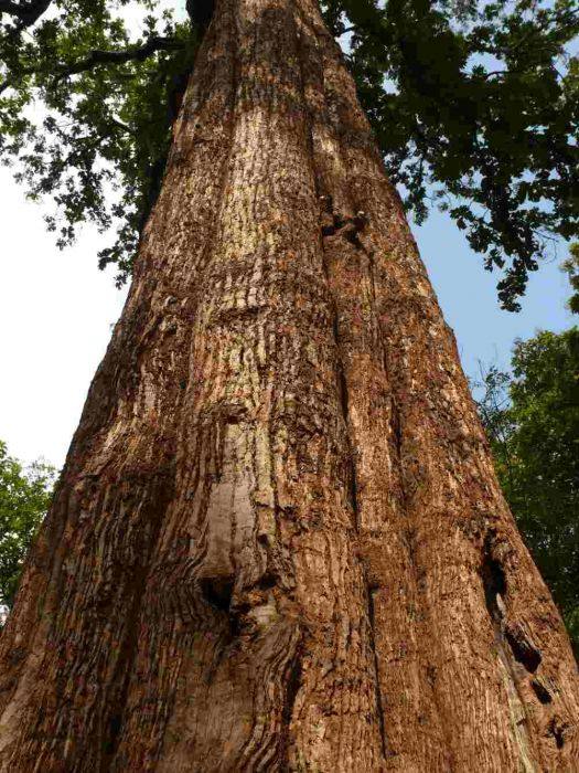 Árvore de madeira teca.