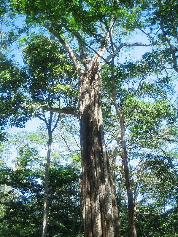 Árvore da madeira cabreúva.