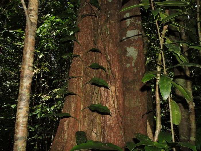 Árvore de madeira curupixá (guajará).