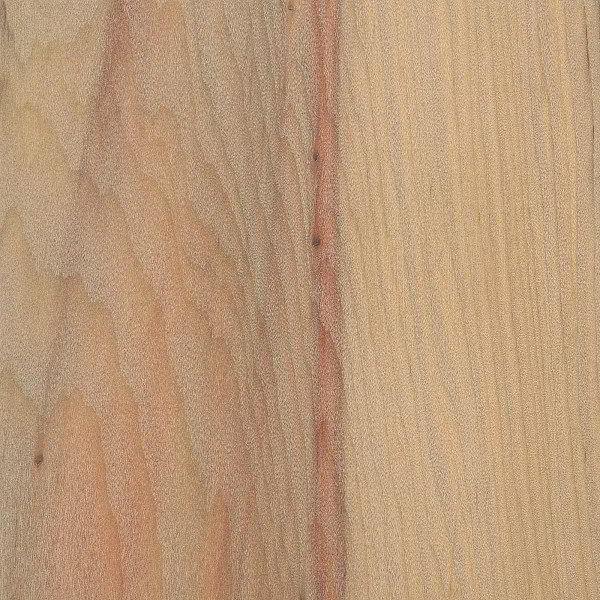 Conheça as características do pinheiro-do-Paraná.