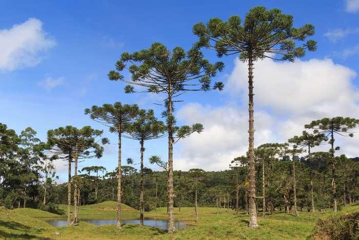 Espécie araucária augustifolia, o pinheiro-brasileiro.