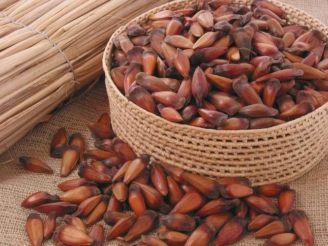 Pinhão, sementes de pinheiro-do-Paraná, que dá origem a madeira pinho.